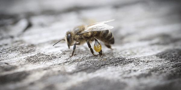 Keo ong propolis là gì? 1