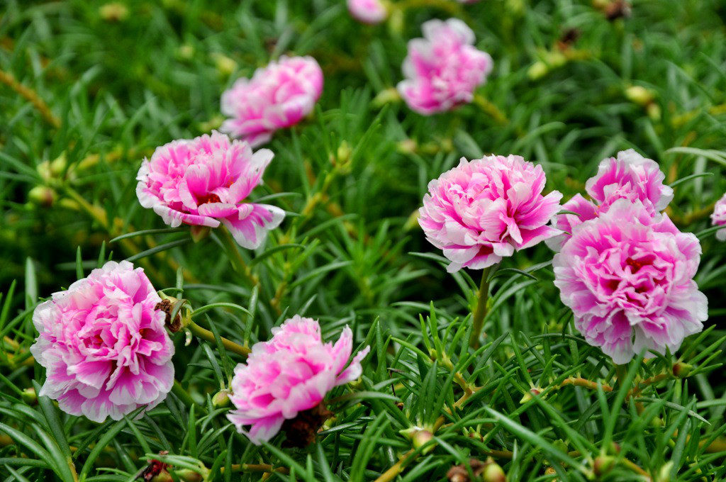 Bài thuốc chữa viêm họng bằng hoa mười giờ 1