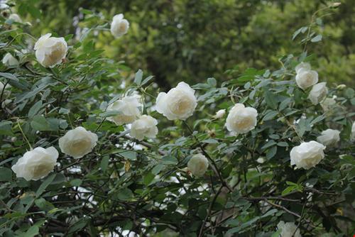 Hoa hồng bạch và đường phèn 1