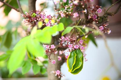 1. Trị ho nhanh với hoa khế 1