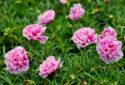 Viêm họng là gì ? Trị viêm họng bằng hoa mười giờ bạn đã biết chưa?